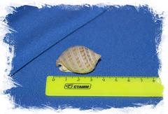 Semicassis granulata undulata размер