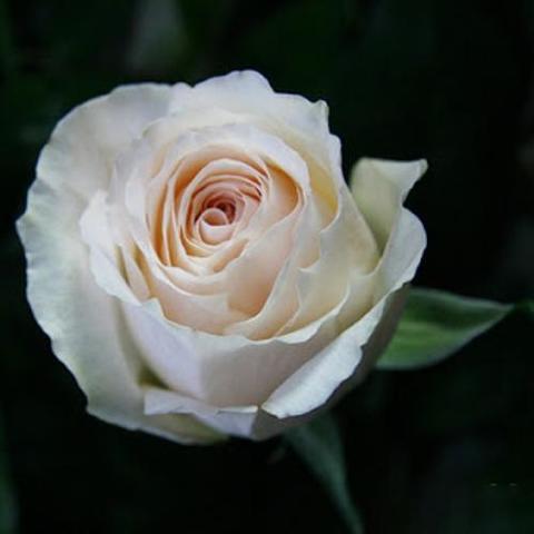 Роза чайно-гибридная Mythos