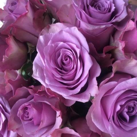 Роза Чайно-гибридная Nightingale