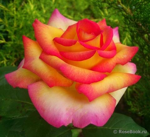 Роза чайно-гибридная Philippe Noiret
