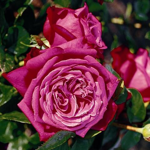 Роза Чайно-гибридная Senteur Royale