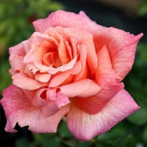 Роза Чайно-гибридная Signora Pierro Puricelli