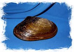 Морская ракушка жемчужница для декора