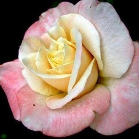 Роза Чайно-гибридная Trinidad
