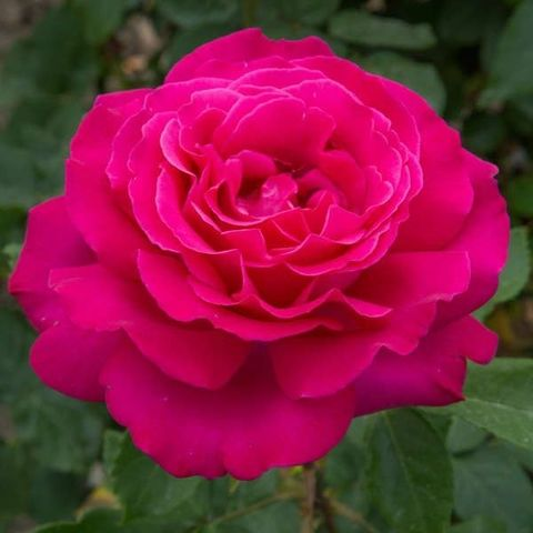 Роза Чайно-гибридная Velasquez