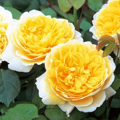 Роза Английская кустовая Charlotte