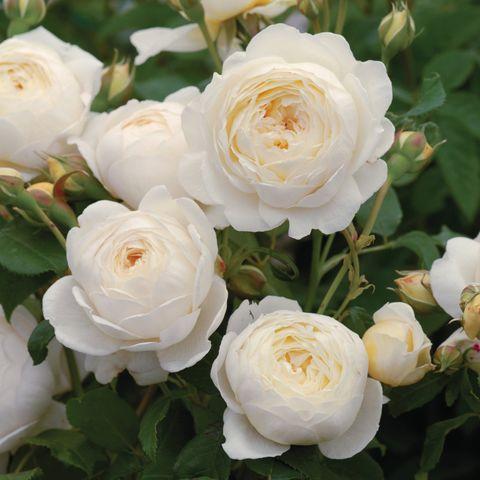 Роза Английская кустовая Claire Austin