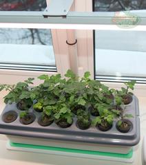 Выращиваем рассаду на подоконнике