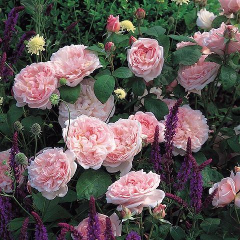 Роза Английская кустовая Eglantyne
