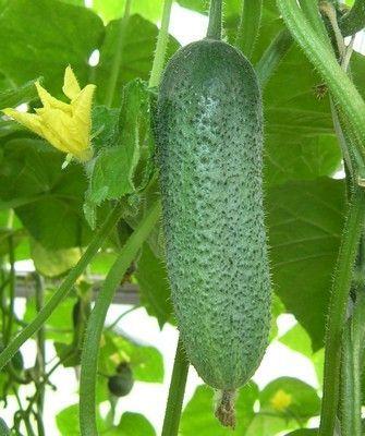 Огурец Корентин F1 семена огурца партенокарпического (Seminis / Семинис) Корентин_F1__Corentine__семена_овощей_оптом.JPG