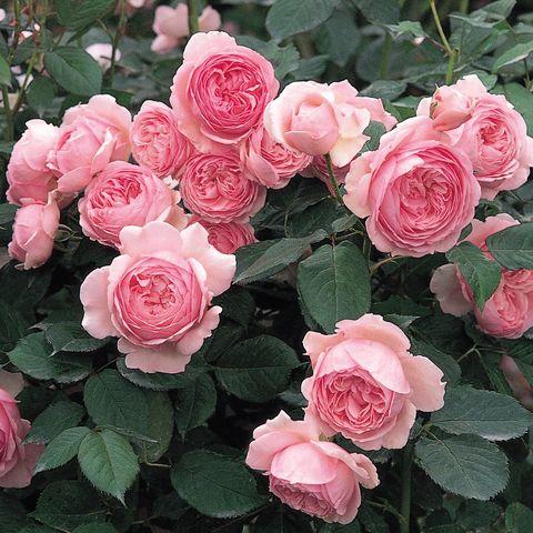 Роза Английская кустовая Geoff Hamilton