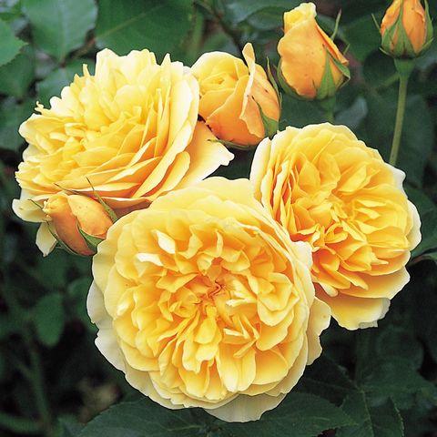 Роза Английская кустовая Graham Thomas