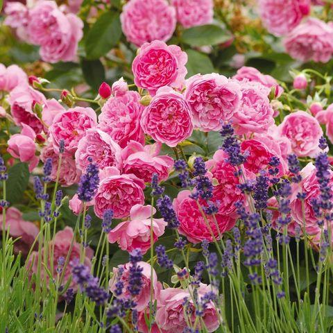 Роза Английская кустовая Harlow Carr