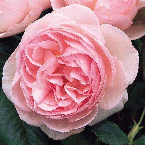 Роза Английская кустовая Heritage