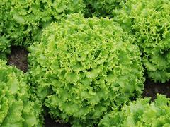 Эстони семена салата батавия (Enza Zaden / Энза Заден)