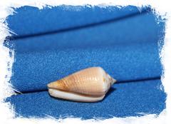 Конус магус каринатус (Conus magus carinatus) 1,5 - 2 см.