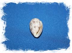 Ракушка морская Conus arenatus, Конус аренатус