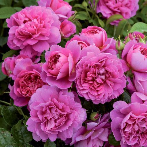 Роза Английская кустовая Princess Anne