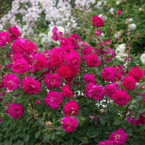 Роза Английская кустовая Tam o'Shanter
