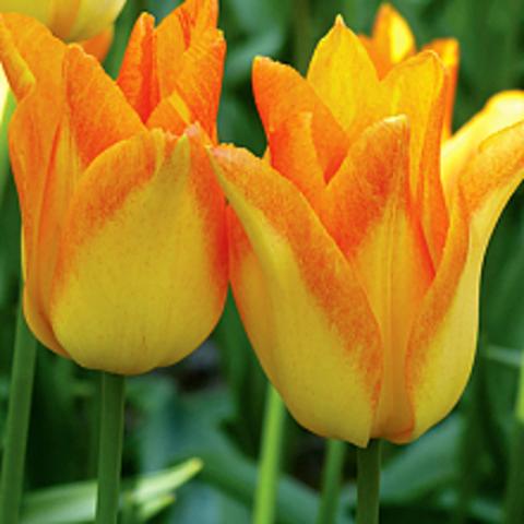 Тюльпан Лилиецветный Мунблаш