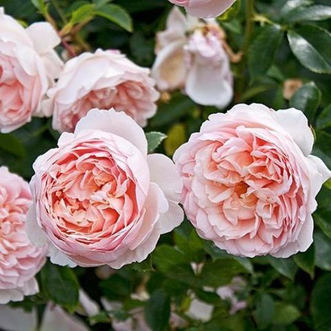Роза Английская кустовая Wildeve