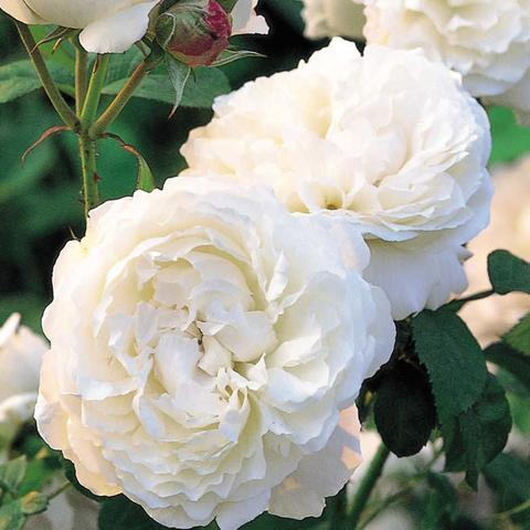 Роза Английская кустовая Winchester Cathedral