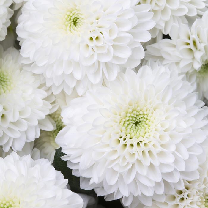 Букет 5 белых кустовых хризантем Coconut