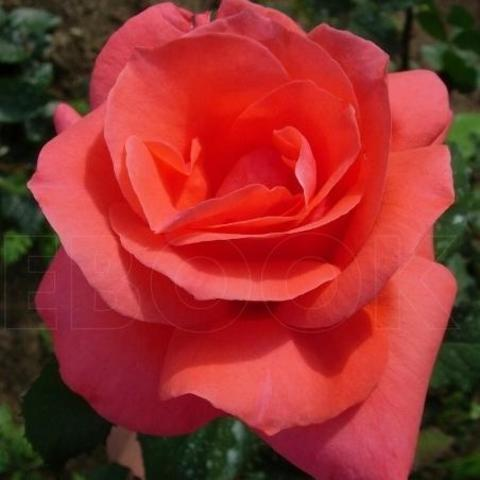 Роза грандифлора Коралловый сюрприз