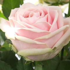 Роза чайно-гибридная Свит Аваланш