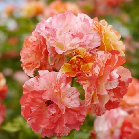 Роза Кустовая Alfred Sisley