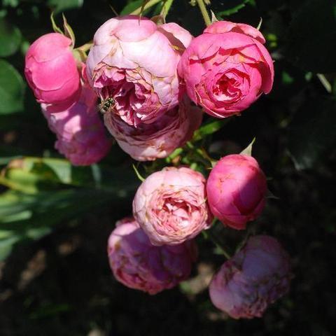 Роза кустовая Pomponella