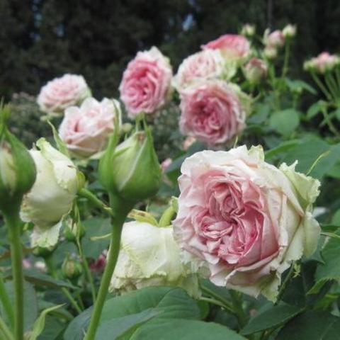 Роза кустовая Джимми
