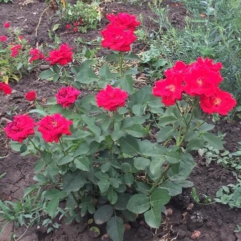 Роза кустовая Херсонес