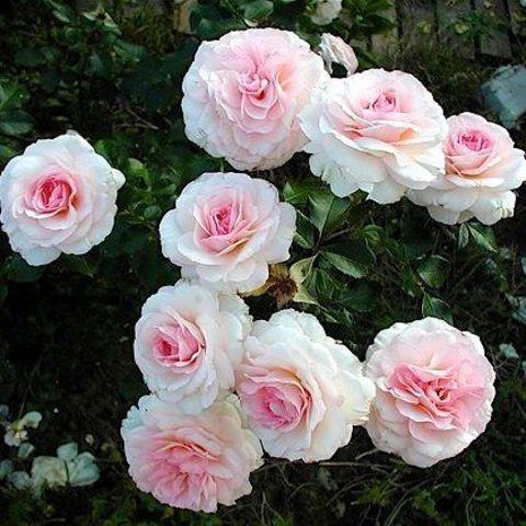 Роза парковая Bremen Stadmusikanten