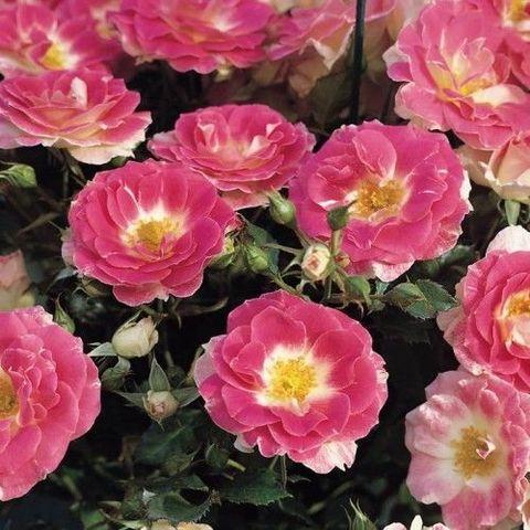 Роза Патио Regensberg