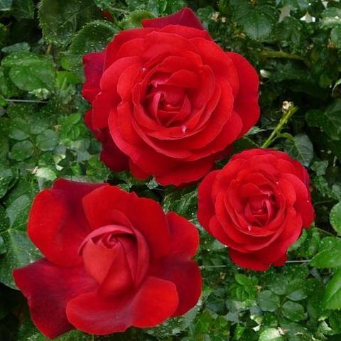 Роза плетистая Аджимушкай