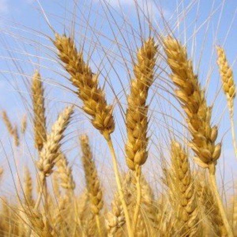 Сидерат Пшеница 800 г