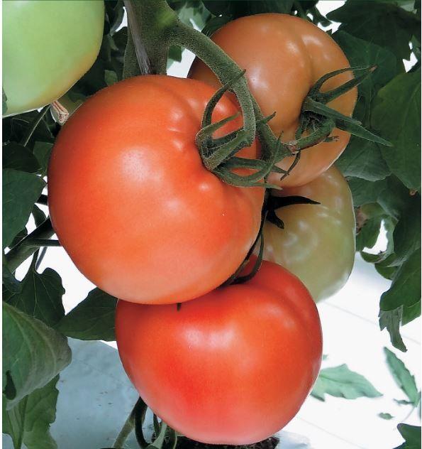 Гавриш Изабель F1 семена томата индетерминантного (Гавриш) Изабель_семена_овощей_оптом.JPG