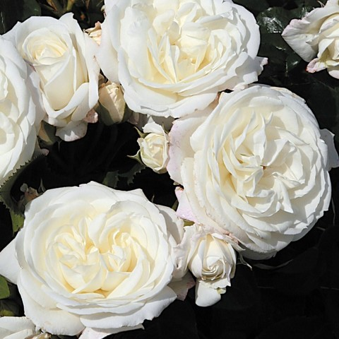 Роза Флорибунда Alabaster