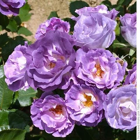 Роза Флорибунда Blue for you