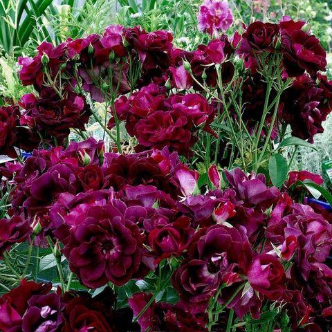 Роза Флорибунда Burgundy Ice
