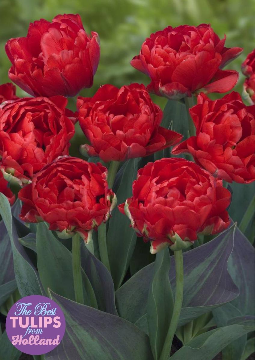 Тюльпан Махровый ранний Largo (Ларго) Нидерланды 3 шт