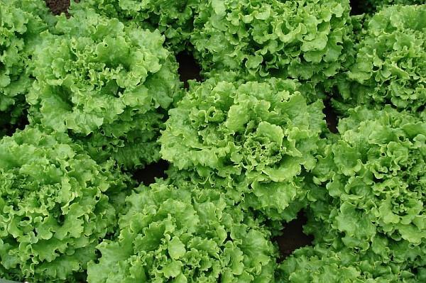 Салат Гренадин семена салата листового (Vilmorin / Вильморин) Гренадин_F1.jpg