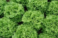 Гренадин семена салата листового (Vilmorin / Вильморин)