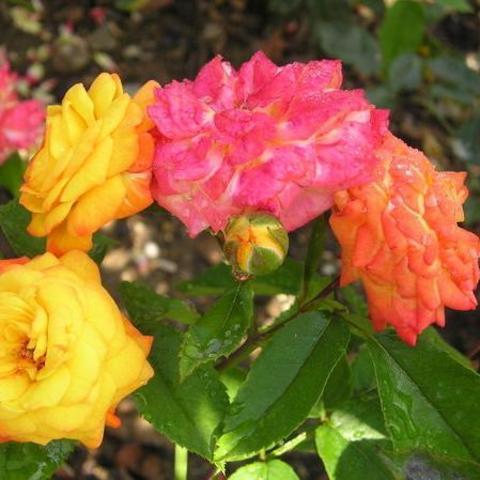 Роза флорибунда Крымский самоцвет