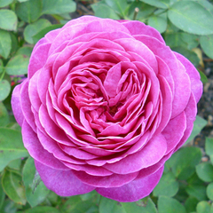 Роза флорибунда Хайди Клум