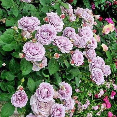Роза флорибунда Новалис Novalis