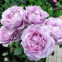 Роза флорибунда Новалис купить