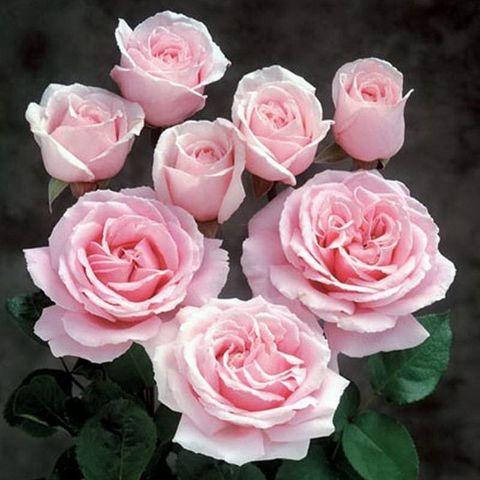Роза Чайно-гибридная Frederic Mistral