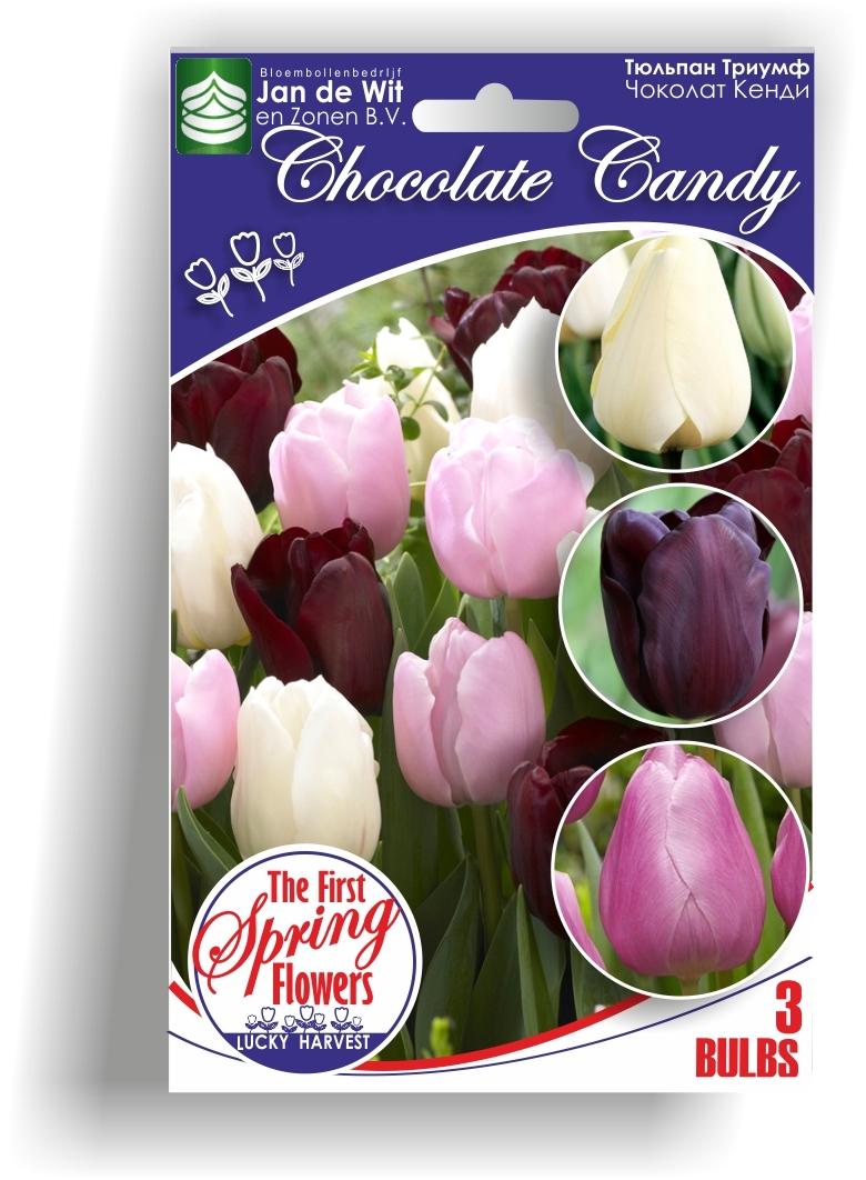 Луковицы Тюльпана Триумф Смесь Chocolate Candy  (Чоколат Кенди) TM Jan de Wit en Zonen B.V. ( количество в упаковке 3 луковицы)
